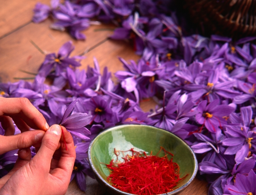 making saffron from flowers
